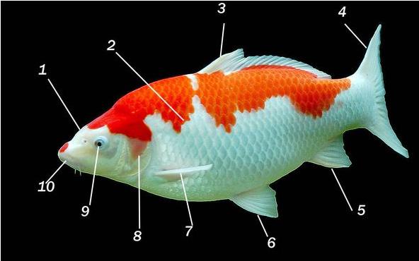 鱼的身体部分的结构,特点及功能是什么
