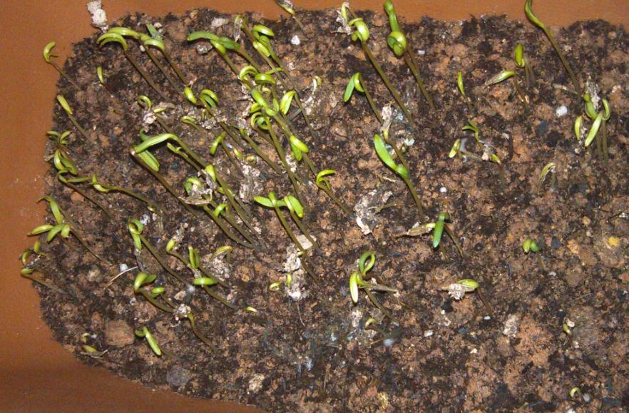 我的波斯菊种子发芽了,怕徒长后死掉