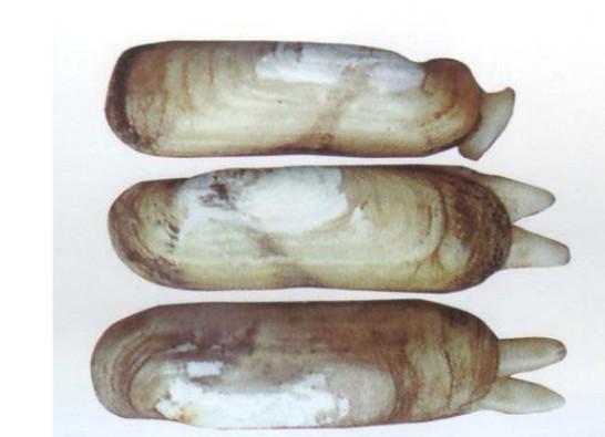 图片中哪个是缢蛏的足?