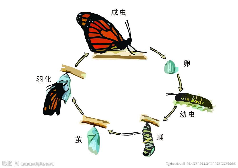蝴蝶卵样子绘画步骤