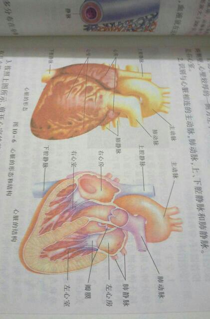 谁能画一张心脏的结构图给我啊!跪求!图片