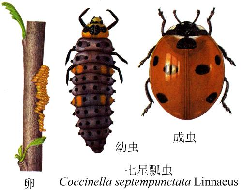 瓢虫的生长过程步骤
