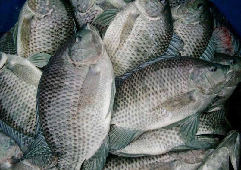 罗非鱼,俗称:非洲鲫鱼,非鲫,越南鱼,中车鲫等.刘化龙南洋2018图片
