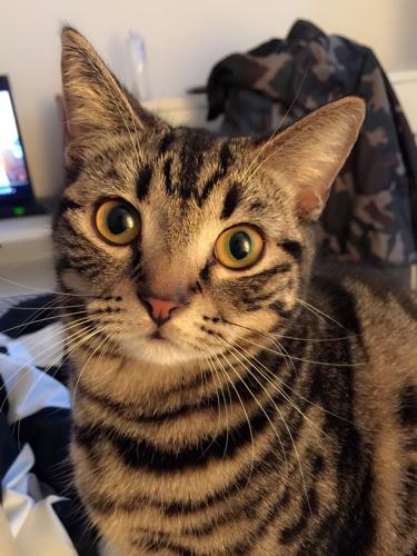 我想问下这个猫咪是美短么.他花纹很好看但是颜色怪怪