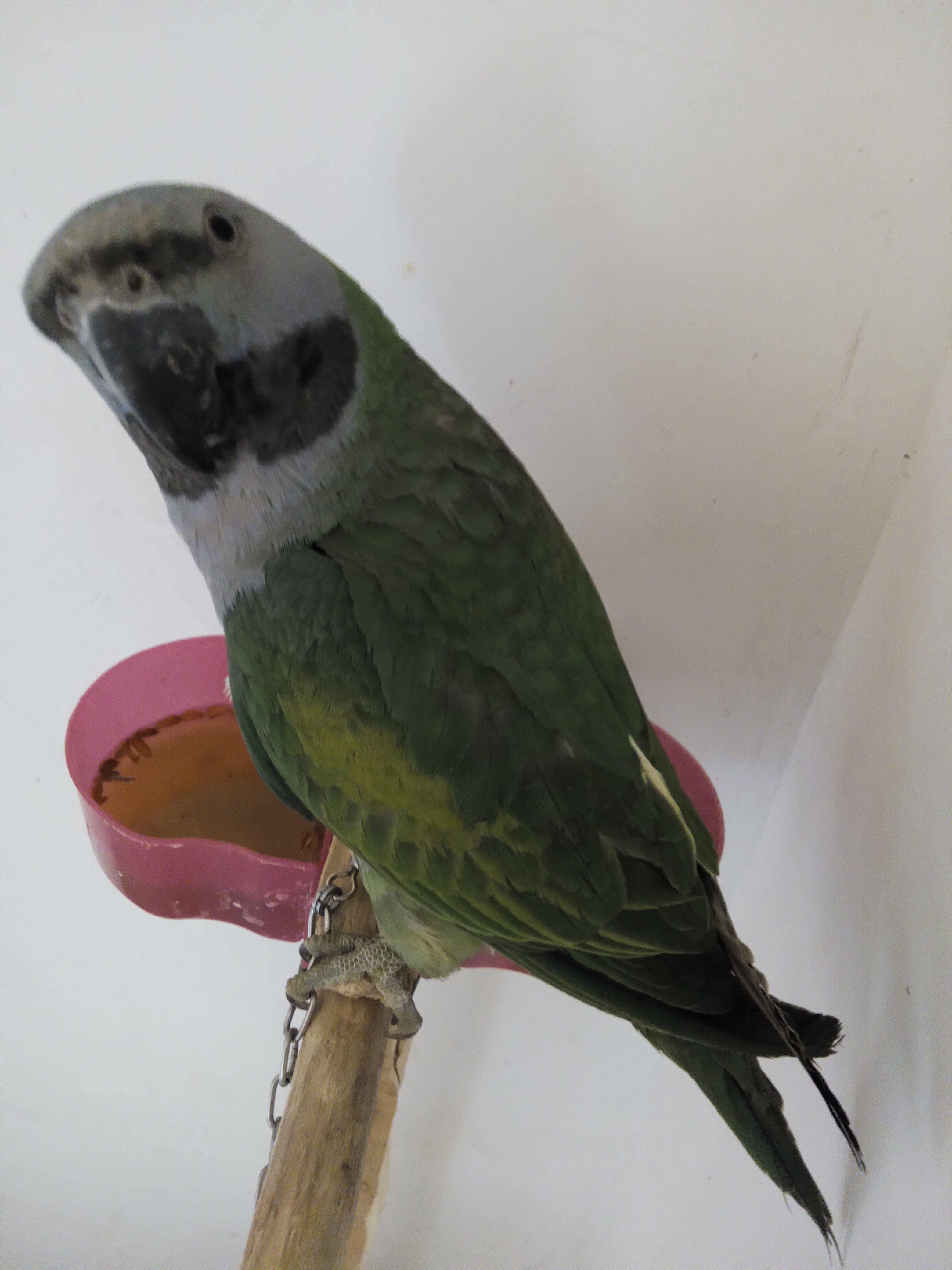 看图帮忙鉴定大绯胸鹦鹉 有赏啊图片