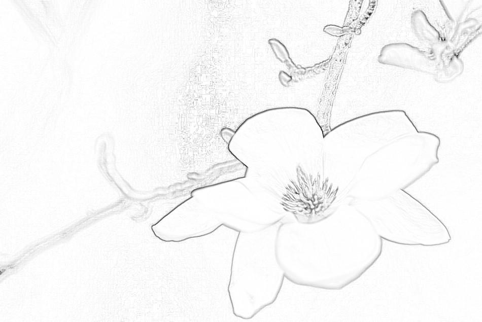木兰花的素描图片