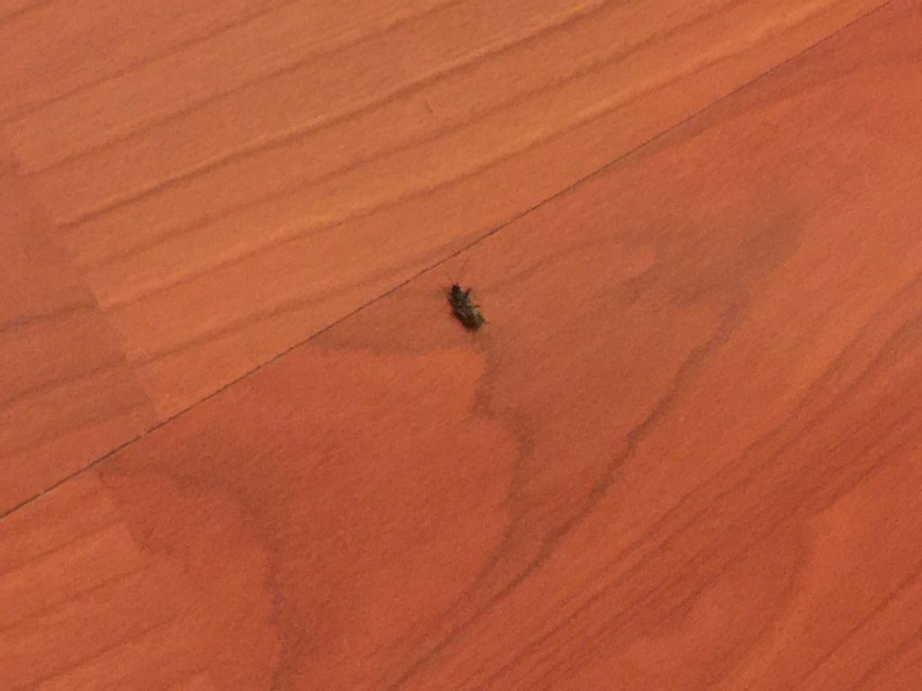 家里最近不是了很多小蟑螂黑色的长得像小虫子出现猪腰镉图片
