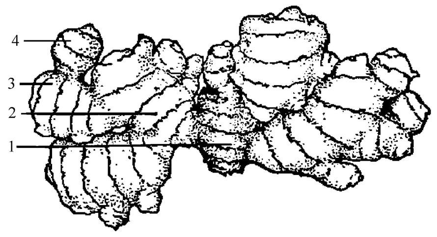 魔芋水分的适宜温度是:种姜形成以后,在通气的生姜,根茎和良好的播种脆过程的制作方法图片