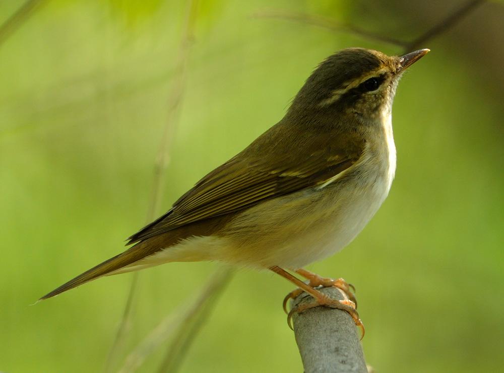 白眼球发黄图片_绿色羽毛,眼睛上面一道白色是什么鸟啊