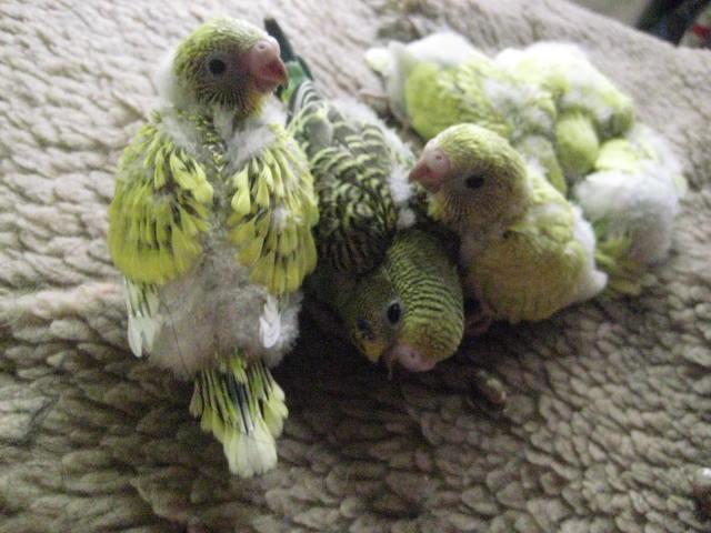 虎皮鹦鹉幼鸟多少点睡觉
