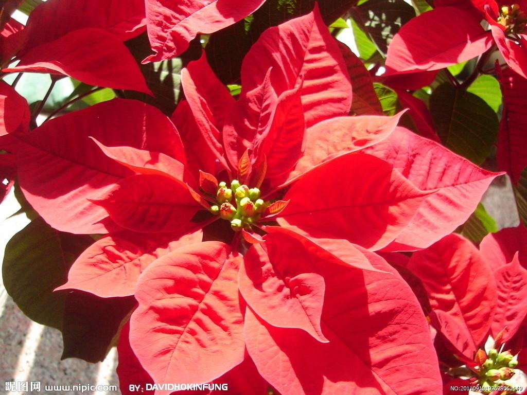 红花籽手绘