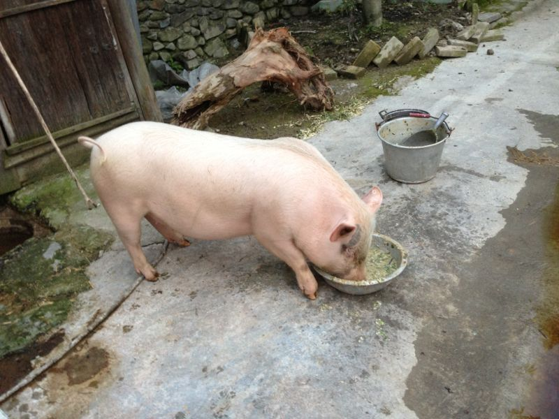 谁有这张猪吃饭的原图发给我 谢谢啦