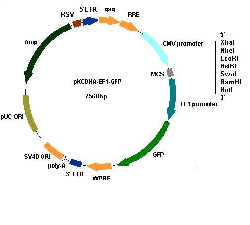 谁有慢病毒载体pvsvg质粒图谱