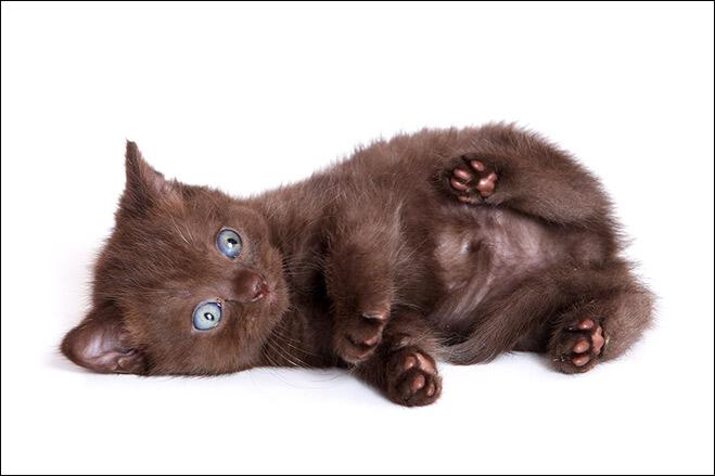 求 短毛 蓝眼睛 黑色 猫咪的高清照片