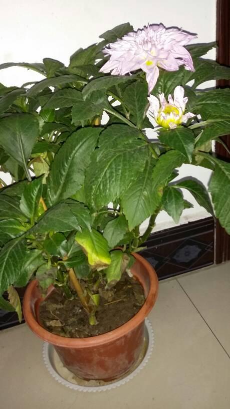 我家的大丽花叶子黄了怎么办?