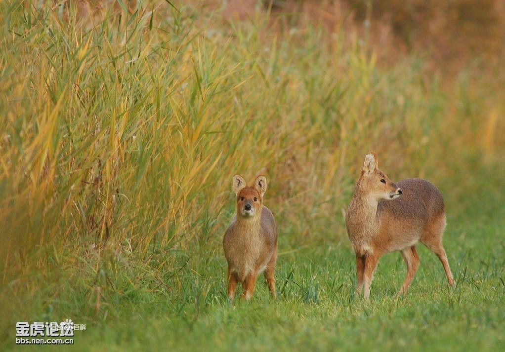 原麝,又名香獐子,是一种经济价值较高的小型偶蹄类食草动物.