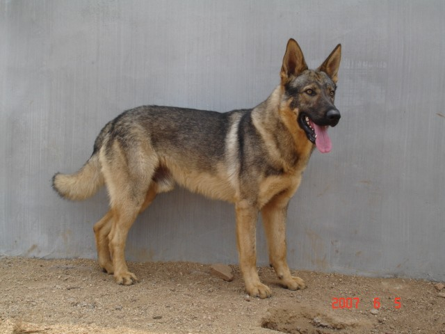 这是什么品种的狗啊,是不是柴狗,长大什么样子?