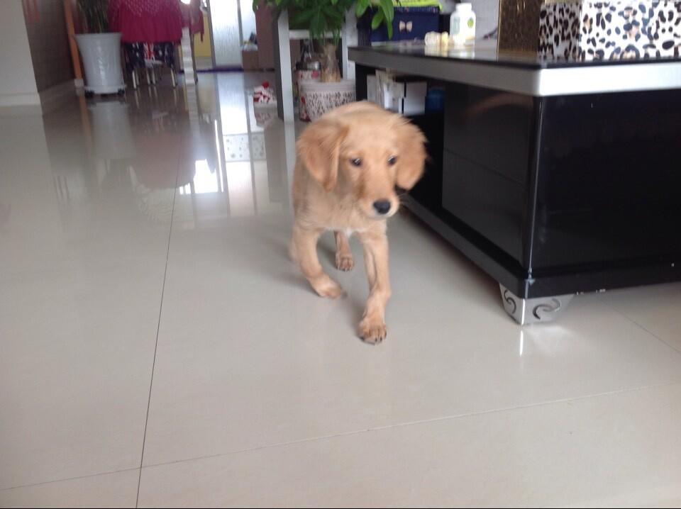 狗狗是小金毛,三个月,前腿内八怎么办