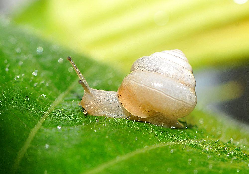 蜗牛身体的外面有一个螺旋形的贝壳.壳内贴着一层外套膜.