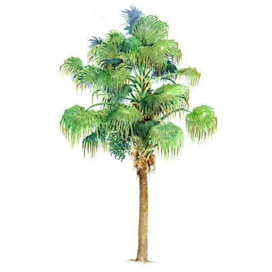 植物根尖結構圖手繪圖
