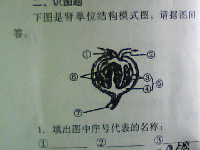 肾单位结构模式图 中从⑤的结构来看 ,它是⑦的什么部分