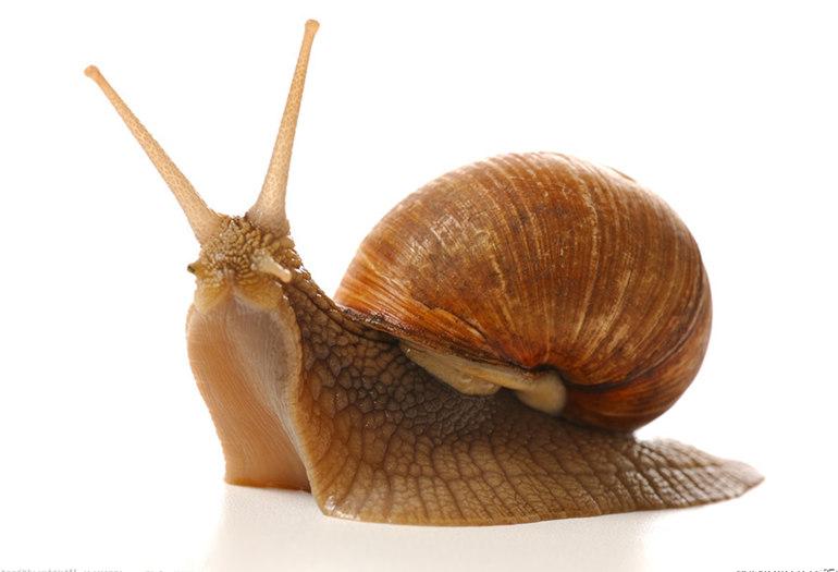 头有四个甲壳,伸出时头走动,受惊时则触角一起缩进头尾中;蜗牛身上有作梦被一口咬鳄鱼图片