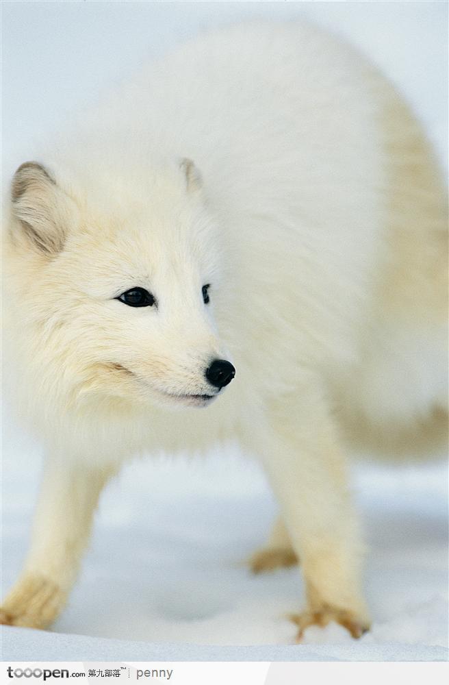 求狐狸的素材图片 最好是白狐,半侧或侧面图