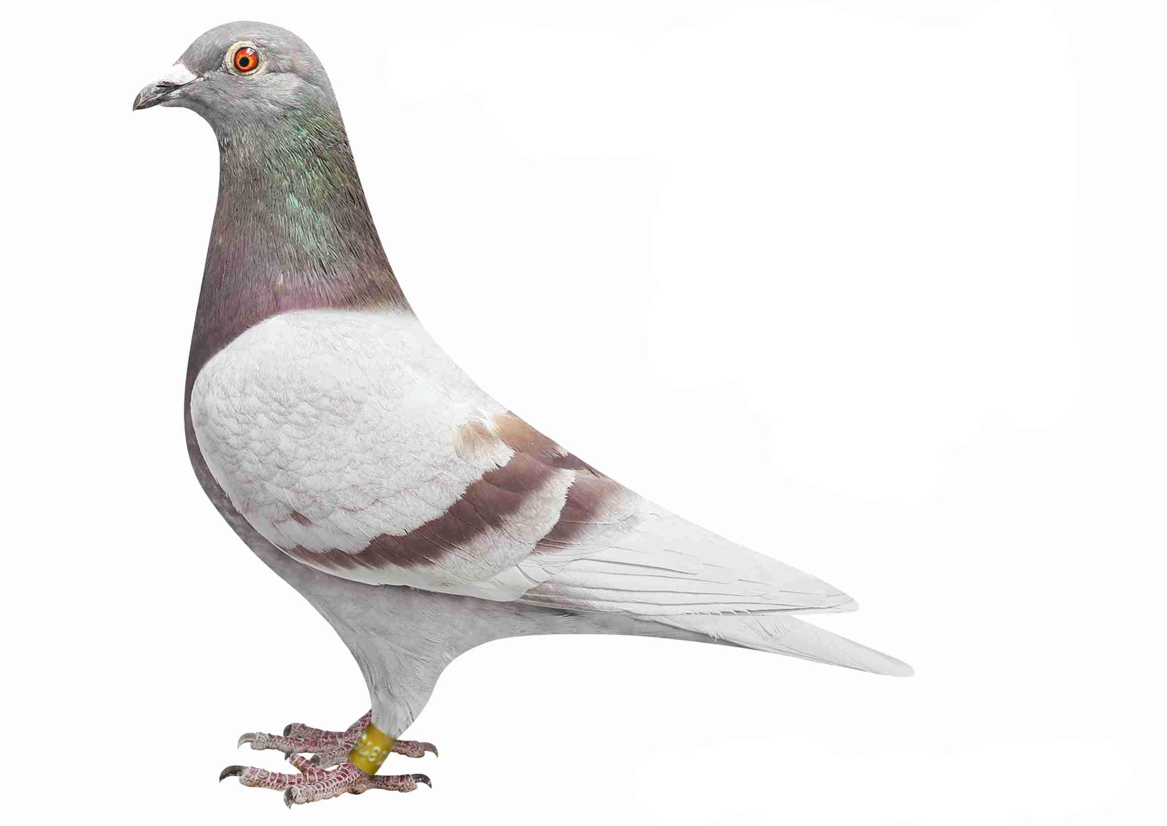 兔子鸽教学鸽子图示鸟动物2362_1671太空泥场景鸟类作品图片