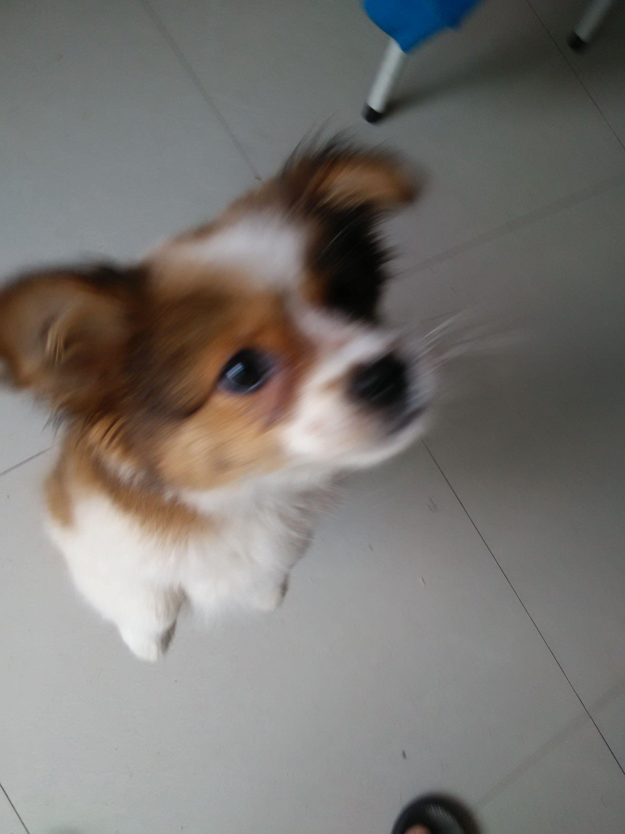 这叫什么狗,会长大吗?是宠物狗吗?