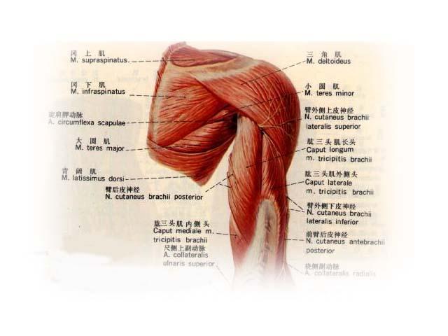运动肩关节的肌肉是如何配布的?