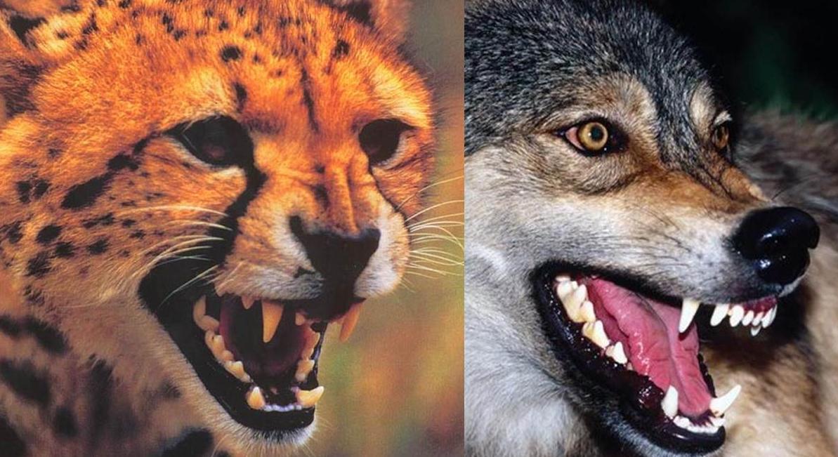狼和狮子各有多少颗牙齿