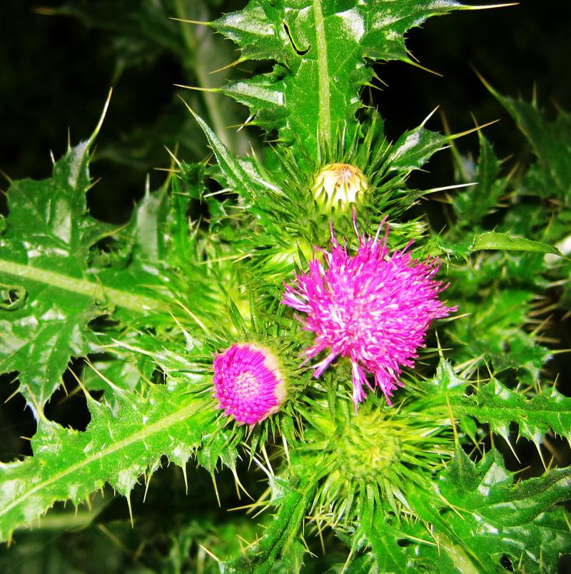 六月青图谱_请问这是什么花.在山上看到的