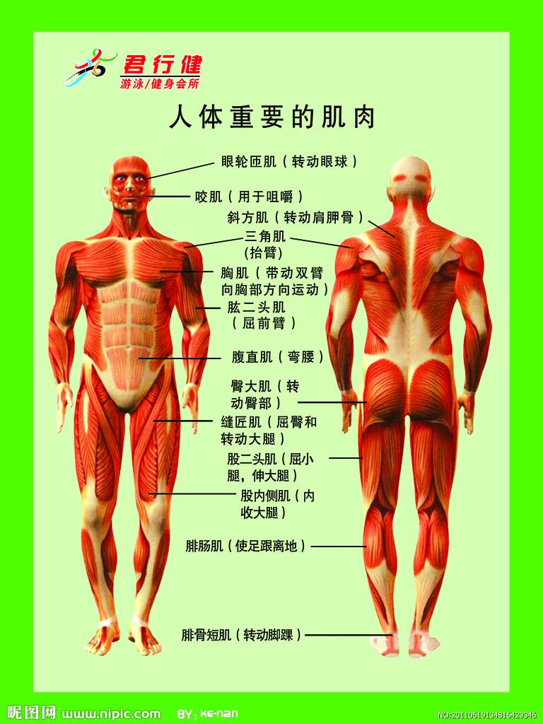 求一张人体各个部位肌肉名称图,高清的