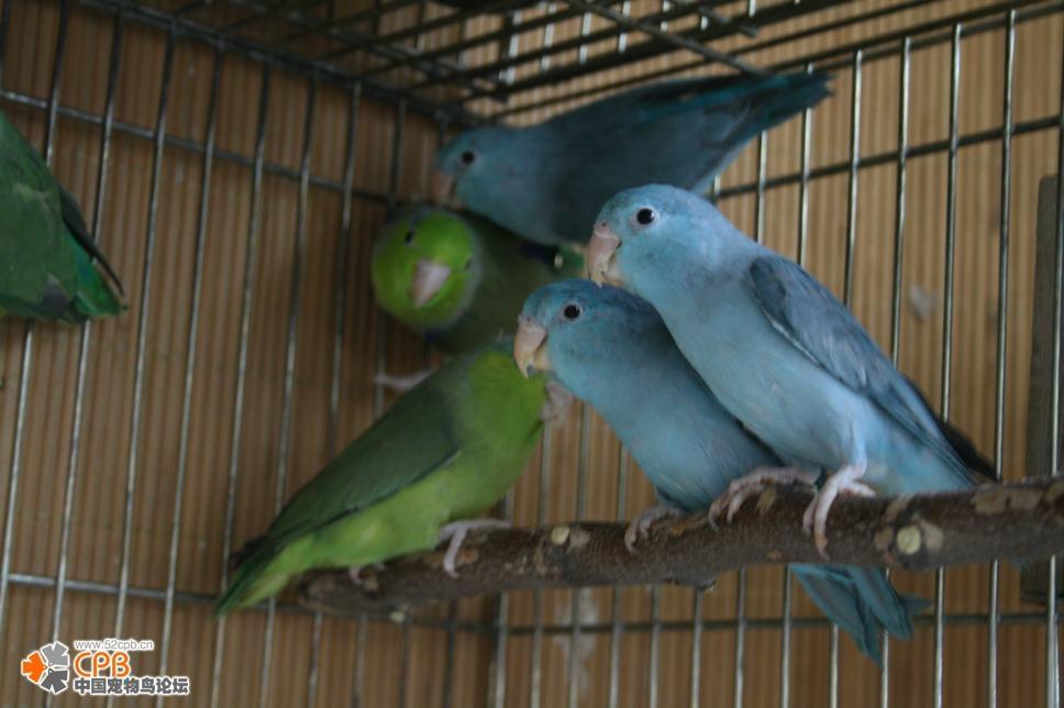 求教绿和尚鹦鹉和蓝和尚有什么区别图片