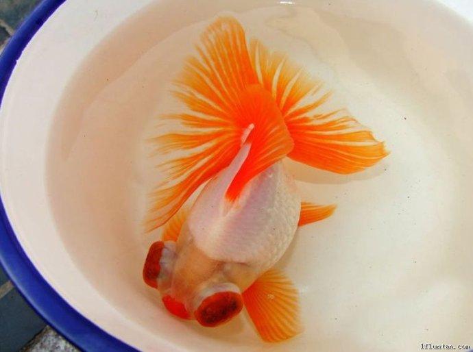 十二红的金鱼品种