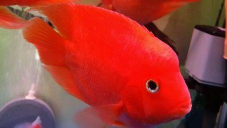 怎么挑选血鹦鹉鱼还有红财神鱼和元宝鹦鹉鱼