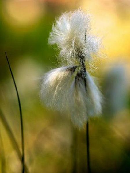 白毛羊胡子草的主要价值