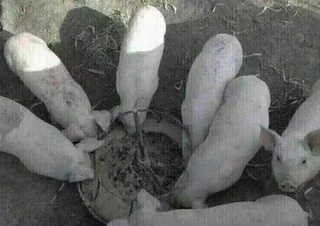 【一群猪在吃东西的图片,有一只是抬头的】(图1)