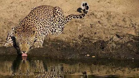 狮、豹和斑鬣狗与岩蟒的较量,为什么豹是最致命的杀手