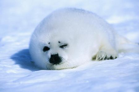 竖琴海豹的保护级别