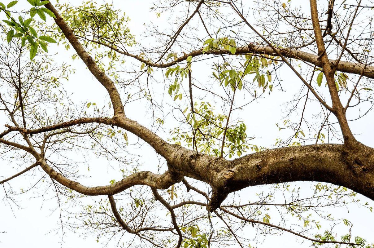 重大里的一颗参天大树.图片