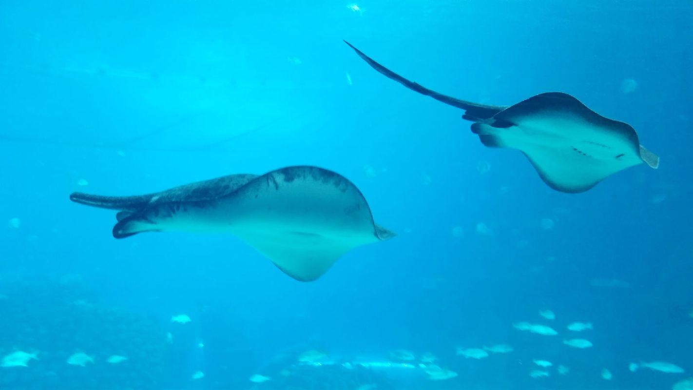 最喜欢的鳐鱼,在鲸鲨馆,重点推荐图片