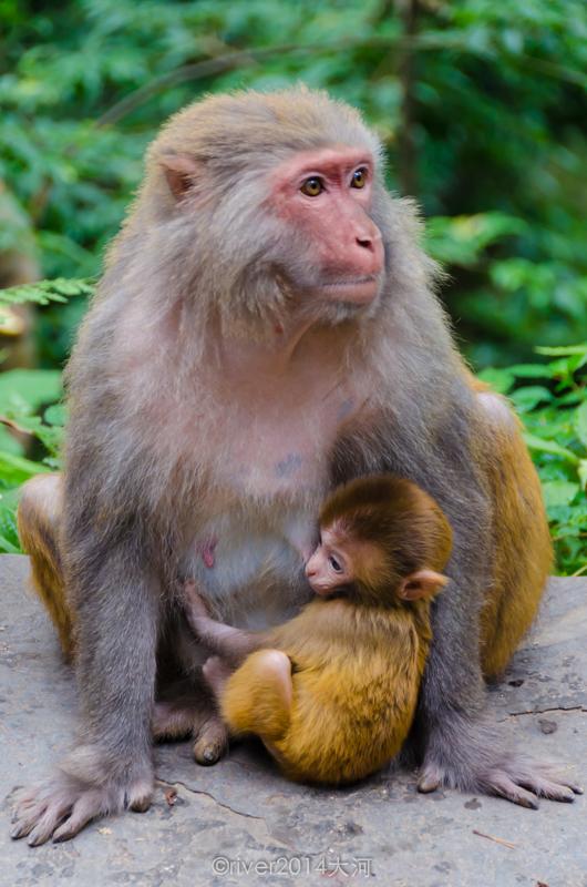 猴子是什么原因_更小一点的猴子还需要妈妈的照料,不能独自行动.图片