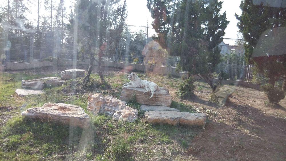 上海野生动物园-东北虎(白虎)图片