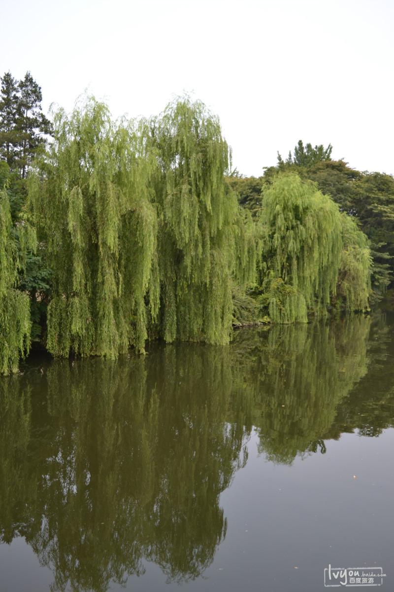河边美丽的柳树.图片