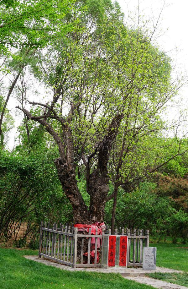 千年古树图片