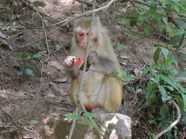 猴子吃西瓜图片