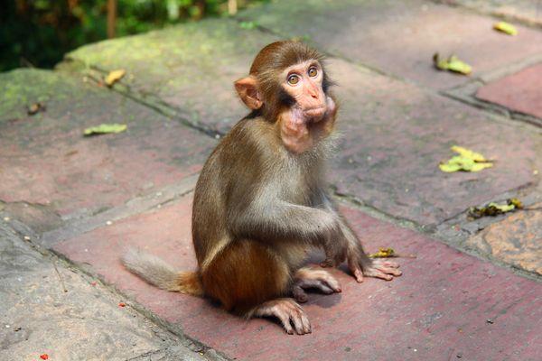 贪婪的猴子,嘴里塞满了食物图片