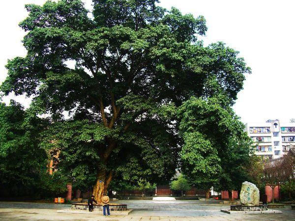 一棵大树也有千年历史图片