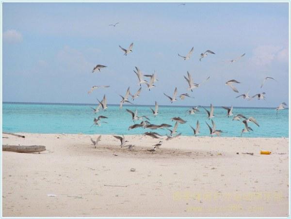 西沙群岛白沙洲可爱的海鸥图片